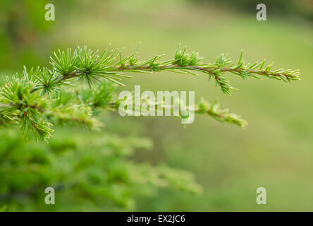 pine branch on blurred background - Stock Photo