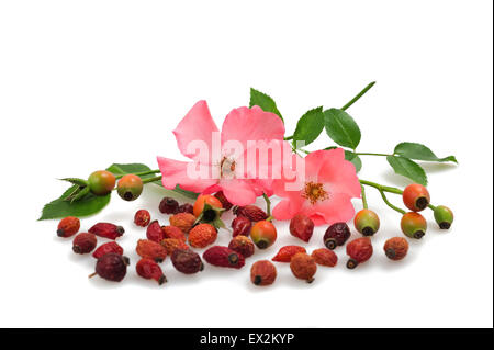 flowers and fruits of wild rose - Stock Photo