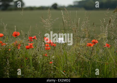 Wild Poppies - Stock Photo