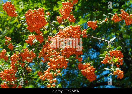 Small orange berries on a tree - Stock Photo
