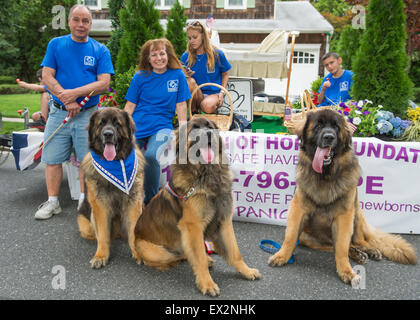 Wantagh, New York, USA. 4th July 2015. Three Leonberger breed dogs, the NYC Boys, L-R, Mr. America, Hollywood, and - Stock Photo