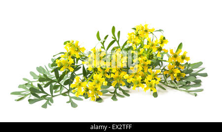 Rue flowers and leaves isolated on white - Stock Photo