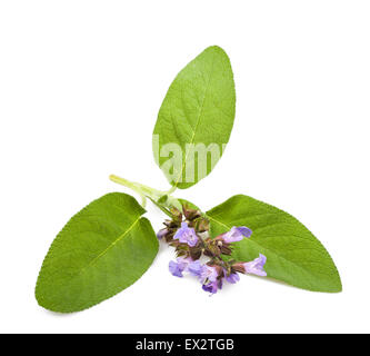 Sage flowers isolated on white background - Stock Photo