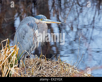 Great Blue Heron sitting along the Shoreline Stock Photo