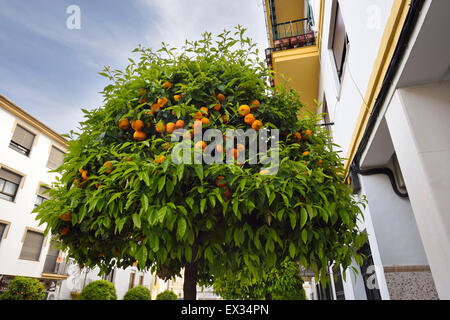 Ornamental bitter Seville orange trees lining a street in Ronda Andalusia Spain - Stock Photo