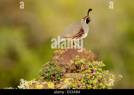 Gambel's Quail  Callipepla gambelii Tucson, Arizona, United States 21 May     Adult Male        Phasianidae - Stock Photo