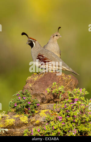 Gambel's Quail  Callipepla gambelii Tucson, Arizona, United States 21 May     Adult Male & Female       Phasianidae - Stock Photo