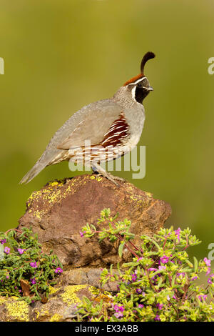 Gambel's Quail  Callipepla gambelii Tucson, Arizona, United States 21 May     Adult Male        Phasianidae - Stock Photo