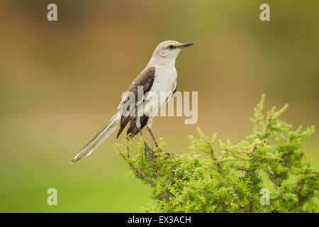 Northern Mockingbird  Mimus polyglottos Tucson, Pinal County, Arizona, United States 6 June        Adult        - Stock Photo