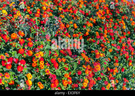 Lantana flowers (Lantana camara), Crete, Greece, Europe - Stock Photo