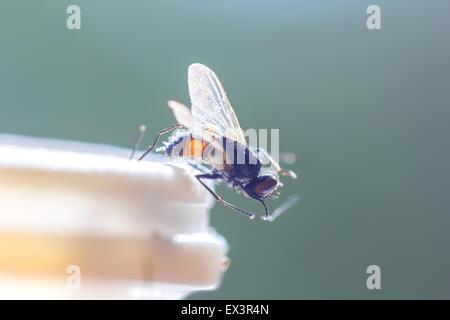 Housefly in sunlight at edge of plastic bottle - Stock Photo
