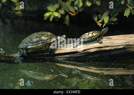 River cooter (Pseudemys concinna hieroglyphica) and Eastern painted turtle (Chrysemys picta picta) at Frankfurt - Stock Photo