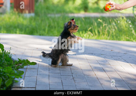 Puppy Yorkshire Terrier plays and asked for the ball standing on its hind legs. - Stock Photo