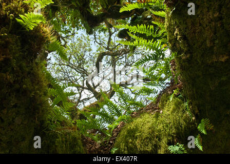 Wistman's Wood, Dartmoor, Devon UK. Looking through gnarled ancient dwarf oaks with verdant moss and ferns. - Stock Photo