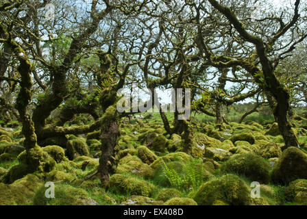 Wistman's Wood, Dartmoor, Devon UK. Gnarled ancient dwarf oaks and granite boulders covered in verdant moss and - Stock Photo