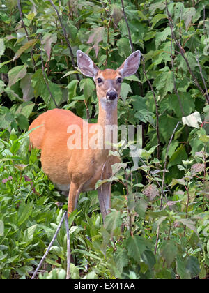 White-tailed Deer in Marsh - Stock Photo