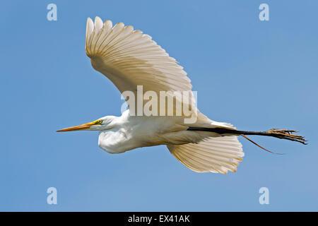 Great Egret in Flight - Stock Photo
