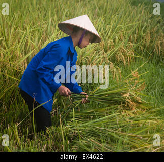 Young woman wearing traditional conical hat harvests rice plants in a paddy near Viet Hung, Que Vo, Vietnam - Stock Photo