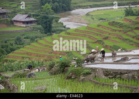 Farmers plant rice during the rainy season with a water buffalo drawn plow near Sapa, Vietnam - Stock Photo