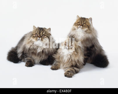 Brown Classic Tabby Persian, 3 young longhaired cats with long, thick, silky fur, lying down. - Stock Photo