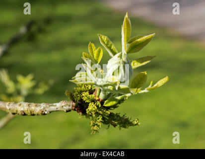 New Bud and Flowers of the Oregan Ash, Fraxinus latifolia, Oleaceae. Western North America. - Stock Photo