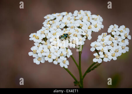 Macro shot of black and yellow beetle on white wild flower - Stock Photo