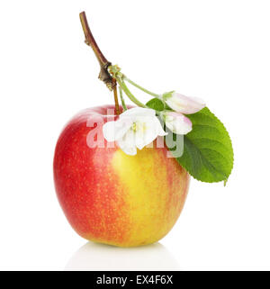 red apple with blossom on the white background. - Stock Photo