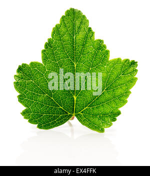 currant leaf on the white background. - Stock Photo