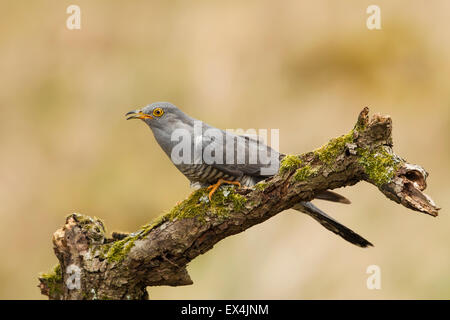 Cuckoo Calling (Cuculus canorus) - UK - Stock Photo
