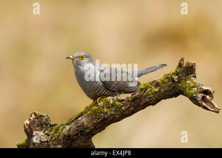 Cuckoo (Cuculus canorus) - UK - Stock Photo