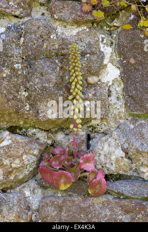 Wall pennywort, Umbilicus rupestris, Gower, South Wales - Stock Photo