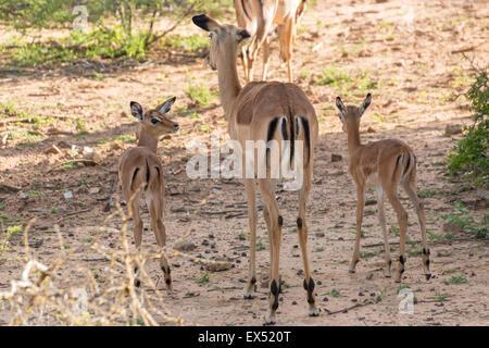 Impala family at the Mokolodi Nature Reserve in Botswana - Stock Photo