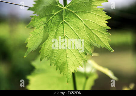 Close up of a vine leaf - Stock Photo