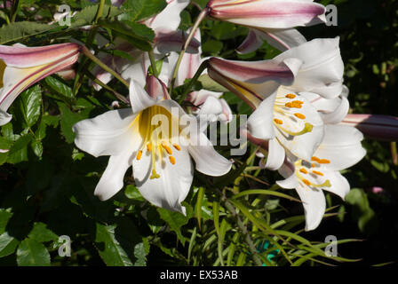 Heavily scented white lily, Lilium 'Regale'