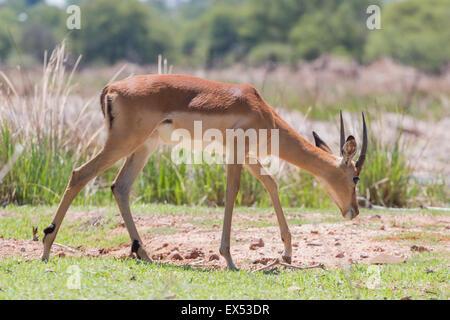 Impala at the Mokolodi Nature Reserve in Botswana - Stock Photo