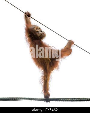 Baby orangutan standing on a rope in a funny pose, isolated on white - Stock Photo