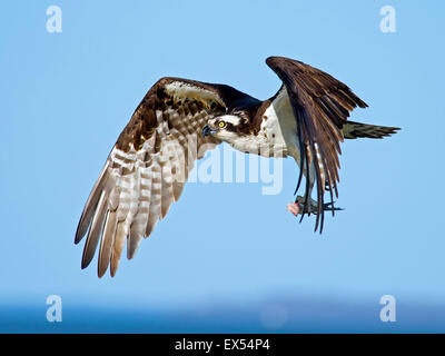 Osprey in Flight with Headless Fish - Stock Photo