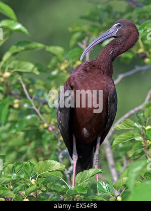 Glossy Ibis in Tree - Stock Photo