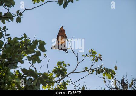 Fruit Bat in the Royal Botanic Garden in Kandy, Sri Lanka - Stock Photo