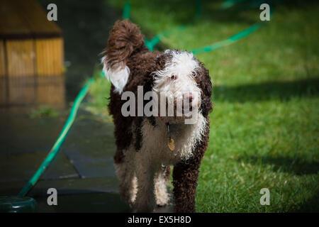 Spanish water dog puppy walking through sunny garden when wet - Stock Photo
