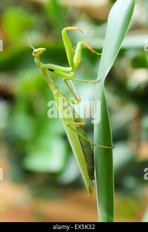 The female praying mantis camouflaged on a green leaf close-up. - Stock Photo