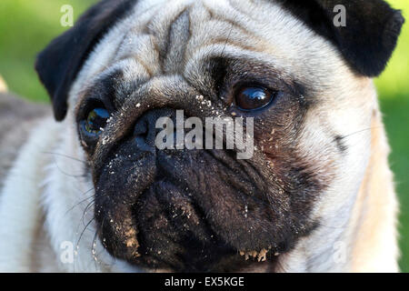 Pug dog harnessed whilst walking, Southport, Merseyside, UK - Stock Photo