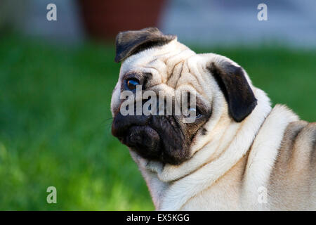 Portrait of cute pet white Pug dog with doleful face, squished little faces, buggy eyes, wrinkly canine in Southport, Merseyside, UK