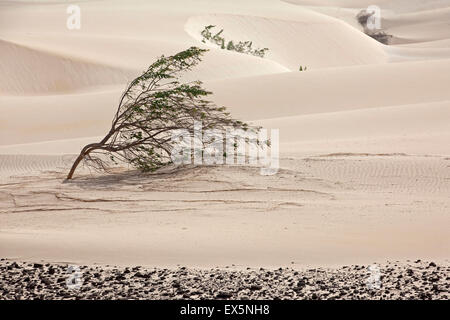 Shrubs growing in white sand dunes on the island Boa Vista, Cape Verde / Cabo Verde, Western Africa - Stock Photo