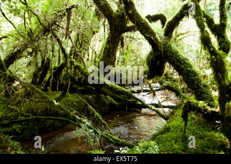 Enchanted Forest - Queulat National Park - Chile - Stock Photo