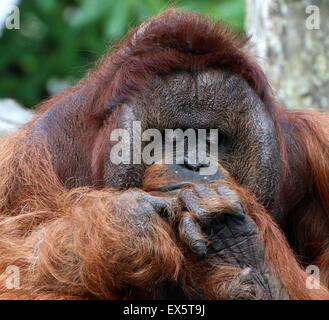 Mature alpha male Bornean orangutan (Pongo pygmaeus) portrait, studying the back of his hands - Stock Photo