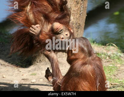 Young  male Bornean orangutans (Pongo pygmaeus) playing with each other and wrestling - Stock Photo