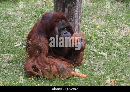 Mature male Bornean orangutan (Pongo pygmaeus) feeding on carrots - Stock Photo