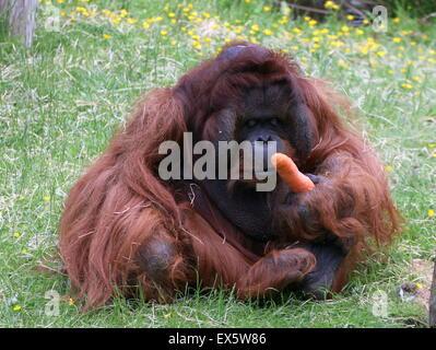 Mature alpha male Bornean orangutan (Pongo pygmaeus) feeding on carrots - Stock Photo