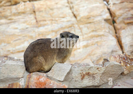 Rock Hyrax (Procavia capensis) also known as rock dassie relaxing on rocks in Mossel Bay, South Africa - Stock Photo